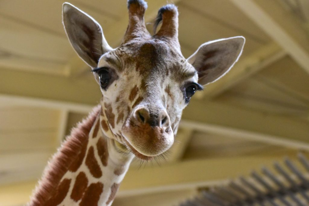 McLean Community Center Events in April Include Giraffe